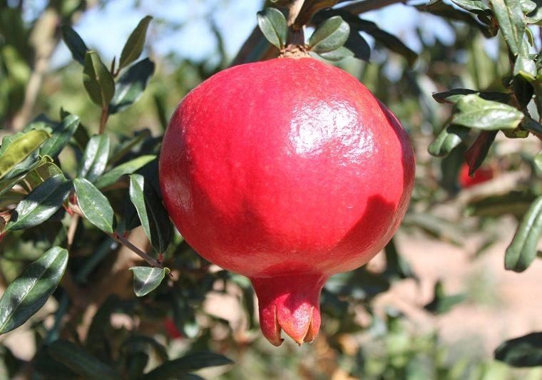 Granadas, las lunas rojas de Alcolea